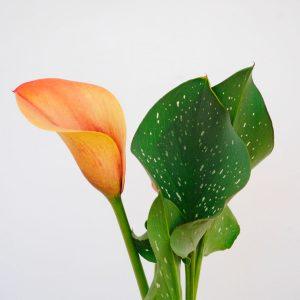 Calas Coloridas - Naranja